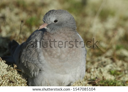 A Stock Dove, Columba oenas, resting in the sand dunes amongst the lichen on the Norfolk coastline.