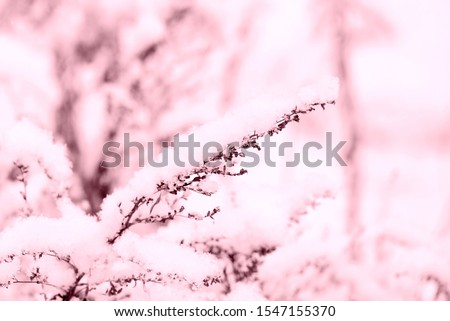 Snow on dry grass in the winter forest close up. Natural background pink color toned #1547155370