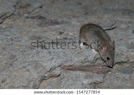 House mouse (Mus musculus). The Pardelas Ravine. The Nublo Rural Park. Mogan. Gran Canaria. Canary Islands. Spain. #1547277854