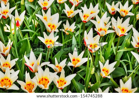 White tulips with yellow and red center on sunny day #154745288