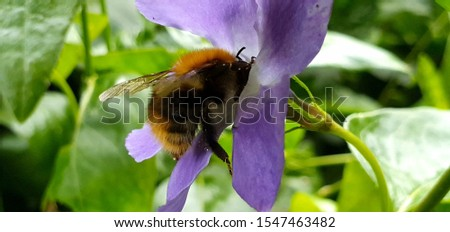 Close up of the bee is sucking nectar from the pollen of Vinca minor flower. on natural background. Nature concept. #1547463482