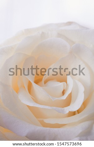 Fresh beige rose flower petals macro background, toned #1547573696