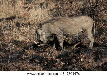 Wild boar wild pig feeds on a safari in South Africa. jungle in africa #1547604476