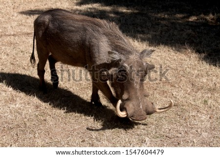 Wild boar wild pig feeds on a safari in South Africa. jungle in africa #1547604479