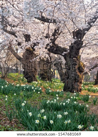 Spring in Central Park, New York City with Crab apple trees in bloom #1547681069