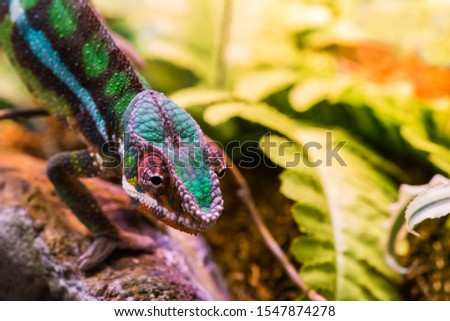 Chameleon between leaves and stones #1547874278