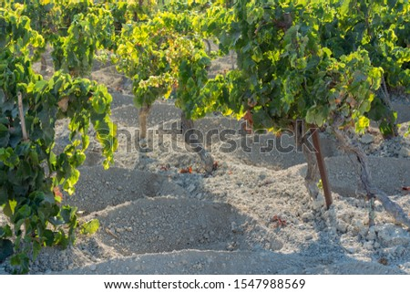 Landscape with famous sherry wines grape vineyards in Andalusia, Spain, sweet pedro ximenez or muscat, or palomino grape ready to harvest, used for production of jerez, sherry sweet and dry wines #1547988569
