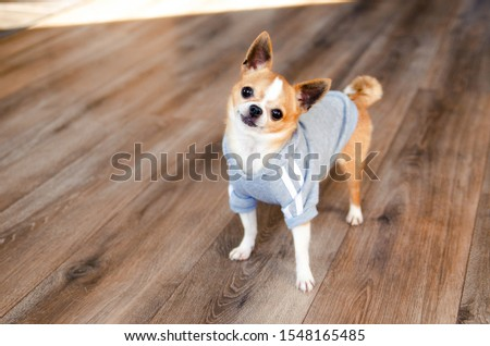 Dog in sport clothes. Chihuahua dressed like sportsman. place for text. Healthy lifestyle. #1548165485