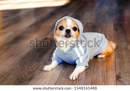 Dog in sport clothes. Chihuahua dressed like sportsman. place for text. Healthy lifestyle. #1548165488