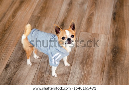 Dog in sport clothes. Chihuahua dressed like sportsman. place for text. Healthy lifestyle. #1548165491