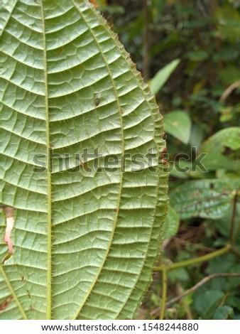 Big green foliage. Foliage and flowers. #1548244880