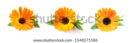 Beautiful blossoming yellow marigold on white background. Calendula officinalis