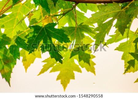Tree Leaves (Dry Leaves, Green Leaves, Spilled Leaves) #1548290558