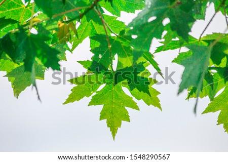 Tree Leaves (Dry Leaves, Green Leaves, Spilled Leaves) #1548290567