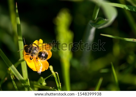 bee on a yellow buttercup flower #1548399938