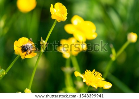 bee on a yellow buttercup flower #1548399941