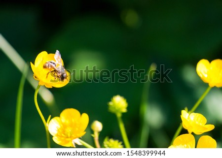 bee on a yellow buttercup flower #1548399944