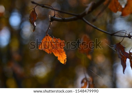 Maple leaves changing slowly in autumn #1548479990