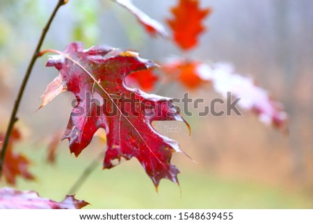Branch of a tree with autumn bright red leaves, moist from the morning fog, with a spider web in dew. Shallow depth of field, blurred focus. Autumn background. #1548639455