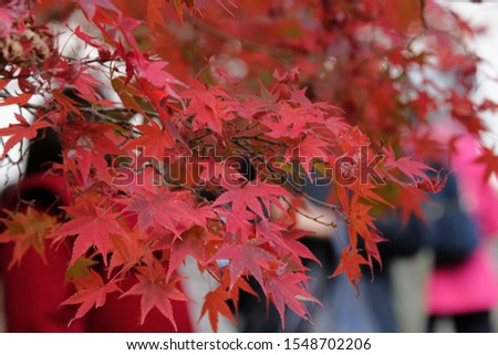 Beautiful Autumn Leaves Colorful in Japan #1548702206
