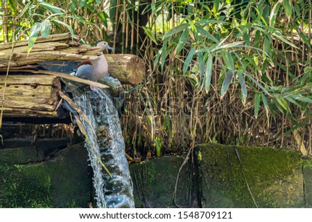 Pond with lush vegetation and stones with moss, a small waterfall with water coming out of a wooden log and a female duck over the waterfall #1548709121
