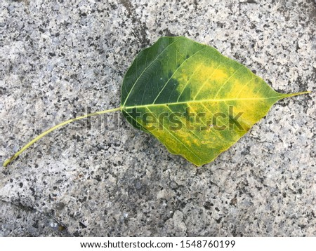 Leaves, The leaves when the time began to fall from its tree  It is natural, The Bodhi leaf is a leaf shaped like a heart. #1548760199