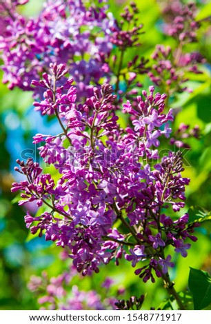 Syringa lilac species of flowering woody plants in the olive family native to woodland and scrub from southeastern Europe to eastern Asia and widely and commonly cultivated in temperate areas elsewher #1548771917