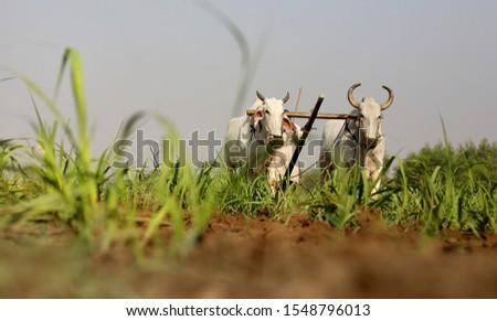 Farmer ploughing field using wooden plough. #1548796013