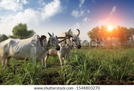 Farmer ploughing field using wooden plough. #1548803270