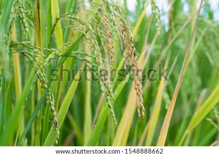 Close up of Rice spike in rice field #1548888662