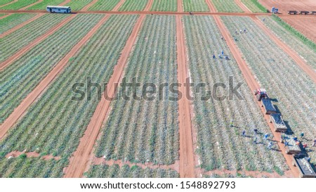 people, workers and tractors harvesting ripe melons #1548892793