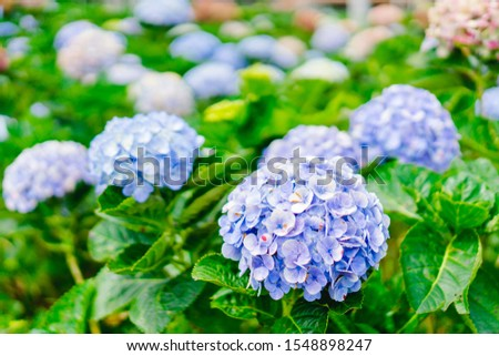 Beautiful blue hydrangea or hortensia flower in Chiangmai Thailand.Natural background on flower garden.flower in bloom in winter.