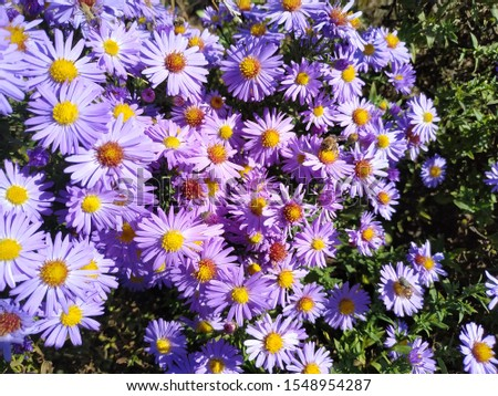 Many purple flowers asters under the rays of the bright sun #1548954287