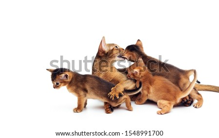 cat licks a group of kittens on a white background #1548991700