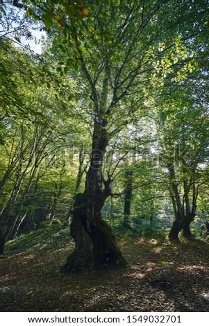 Sunlight and trees in autumn. Dramatic landscape photo taken in forest in Yedigöller National Park, Bolu, Turkey                        #1549032701