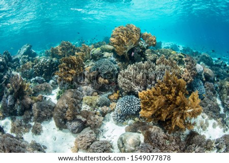 A beautiful coral reef thrives near Alor, Indonesia. This region receives strong currents which bring planktonic food to the vibrant fish and corals that live here. #1549077878