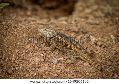 A lizard on the desert floor #1549206155