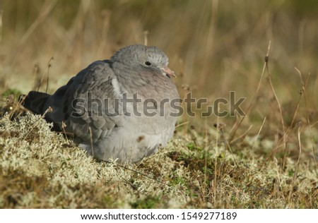 A juvenile Stock Dove, Columba oenas, resting in the sand dunes on the Norfolk coastline.