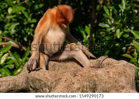 The long-nosed monkey or kahau (lat. Nasalis larvatus) — a species of primates from the subfamily of thin-bodied monkeys in the family of monkeys.  #1549290173
