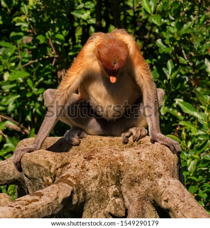 The long-nosed monkey or kahau (lat. Nasalis larvatus) — a species of primates from the subfamily of thin-bodied monkeys in the family of monkeys.  #1549290179