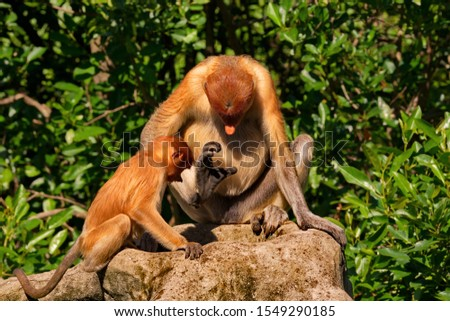 The long-nosed monkey or kahau (lat. Nasalis larvatus) — a species of primates from the subfamily of thin-bodied monkeys in the family of monkeys.  #1549290185