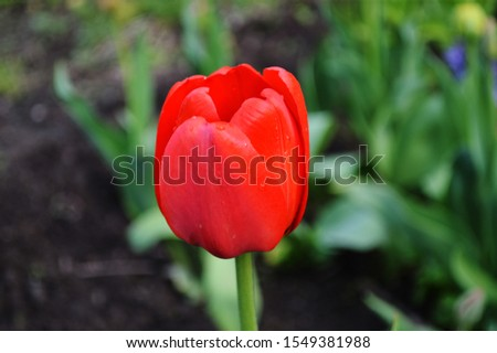 red Tulip macro photography macro #1549381988