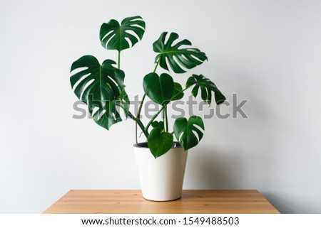 Beautiful monstera flower in a white pot stands on a wooden table on a white background. The concept of minimalism. Hipster scandinavian style room interior. Empty white wall and copy space. Royalty-Free Stock Photo #1549488503