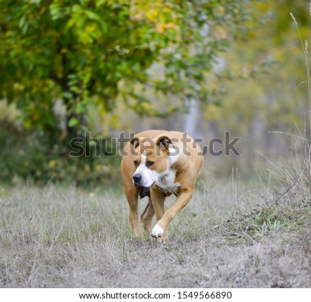 American Staffordshire Terrier pictured in nature