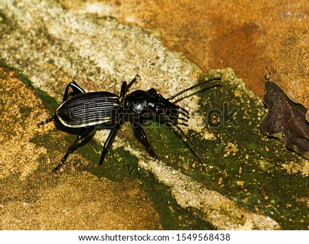 The Giant Ground Beetle, a large stout terrestrial beetle very nocturnal in habit. Often attracted to lights in their hunt for prey as they are active predators armed with powerful piercing mandibles #1549568438