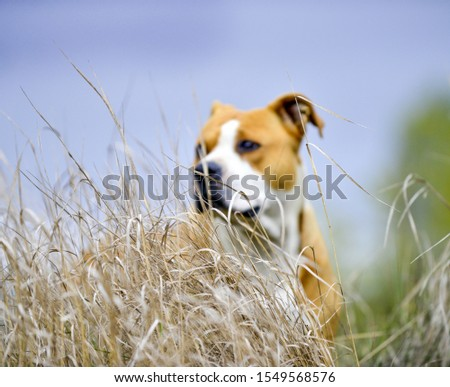 Out of focus portrait od an American Staffordshire Terrier pictured in nature ,focus on a  dry plant