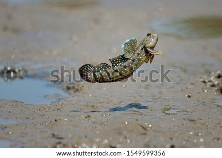 close up action Mudskipper jump in the sea