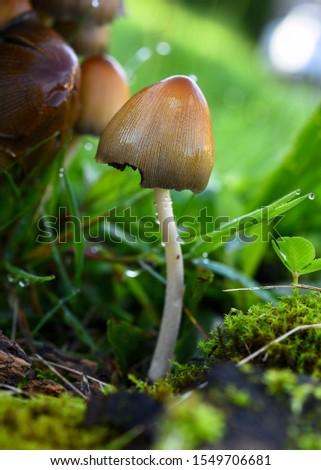 Small toadstool in the rain #1549706681