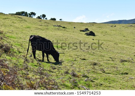 Hiking at the Fairy forest in Fanal with ancient laurel trees and cows on the green meadow in Madeira, Portugal #1549714253