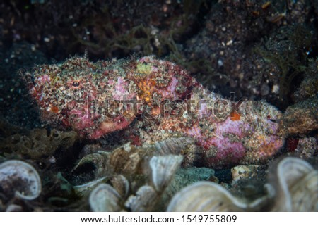 A Flasher scorpionfish, Scorpaenopsis macrochir, lies in wait for prey on a black sand slope in Indonesia. This is just one of many well-camouflaged predators found on or near Pacific coral reefs. #1549755809